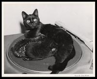 """Muscles"" the cat nurses kittens on turntable, WWDC-AM 1450, Washington, D.C., 1951"